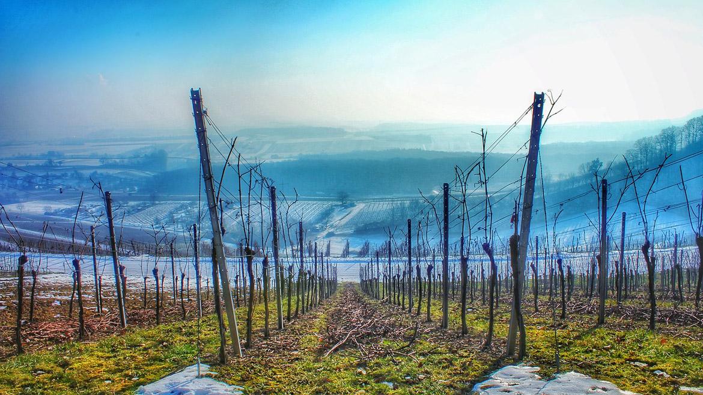 Peligra la producción de Rioja y Rioja Alavesa tras las últimas heladas