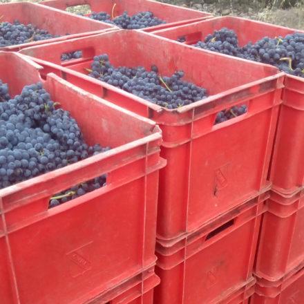 Arranca la vendimia en algunas bodegas de Rioja