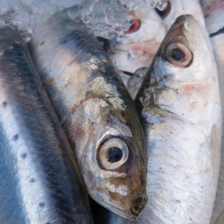 Adiós a las sardinas